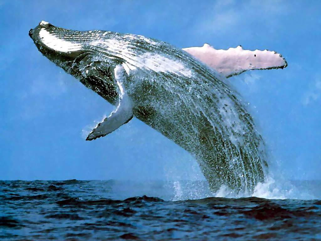 The whales are back child friendly news its a rare success story in the midst of all the bad news about many species dying out all over the world the number of california blue whales has voltagebd Gallery
