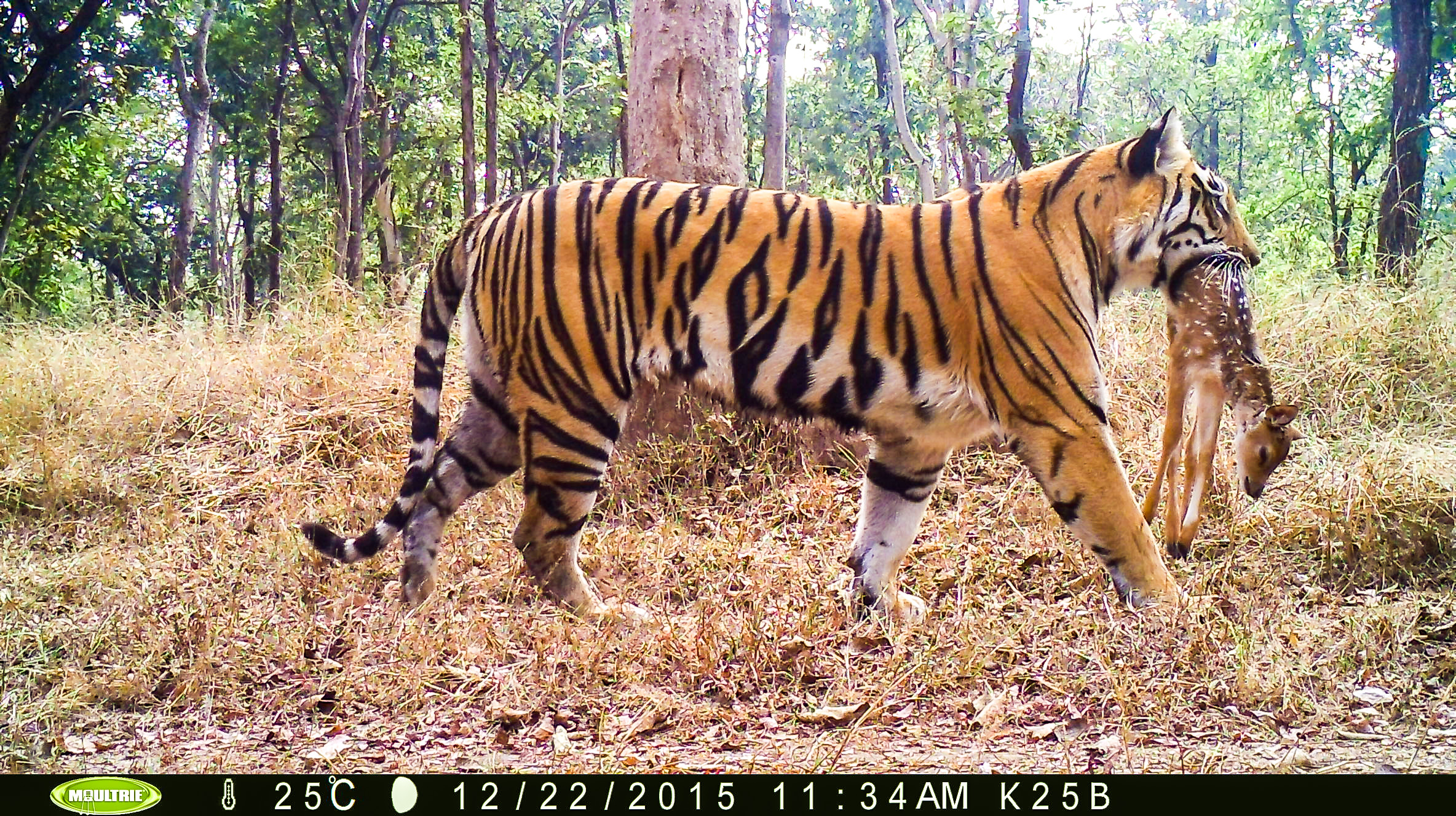 Above images captured from the camera trap (Camera trap images from Pench Tiger Reserve)