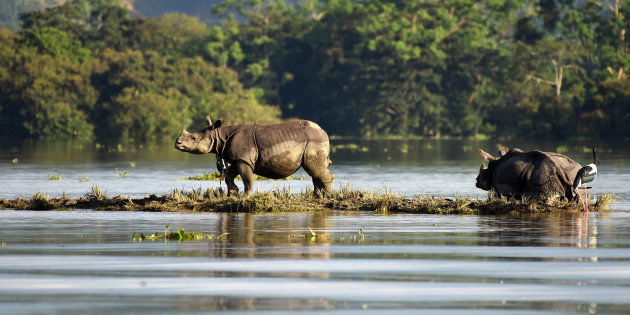 One-horned rhinoceroses are seen at the flooded Kaziranga National Park in the northeastern state of Assam, India, July 12, 2017. Picture taken July 12, 2017. REUTERS/Anuwar Hazarika